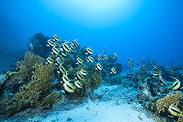 Red Sea Bannerfish in South Egypt