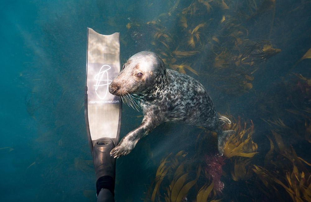 Diving with seals ©Daan Verhoeven